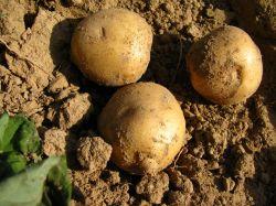 Fresh Potato 2010