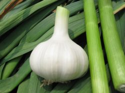 Fresh White Garlic - (organic , Spicy And Health)