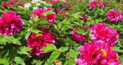 Heze Zhongyuan Peony Development Co.,ltd