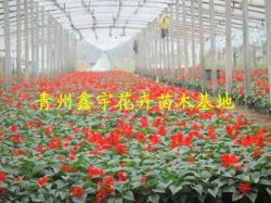 Qingzhou Xin Yu Flower Seedlings Base