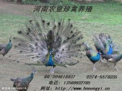 Henan Agricultural Means Peacock Seedling Breeding Farm