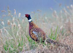 Henan Agricultural Means Pheasant Seedling Breeding Farm