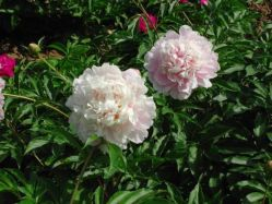 Supply Herbaceous Peony  Pink