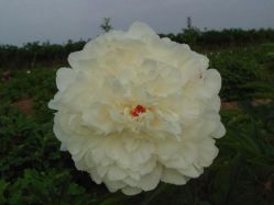 Supply Herbaceous Peony