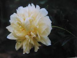 Herbaceous Peony  Yellow