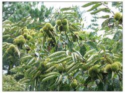 2012 Grade A Tangshan Fresh Chestnut